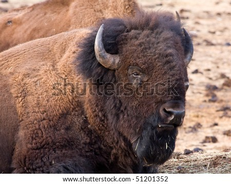 American bison in the rocky mountains, colorado, usa
