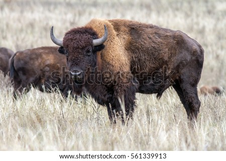 American bison male in the dry grassland. One buffalo in the autumn steppe.