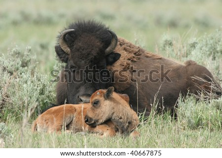 American Bison mother with calf