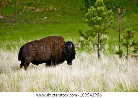 American Bison on Prairie - Custer State Park, South Dakota, USA. Single Buffalo on Grassland