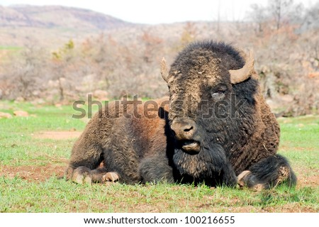 American bison on the rest.Wichita Mountains Wildlife Refuge
