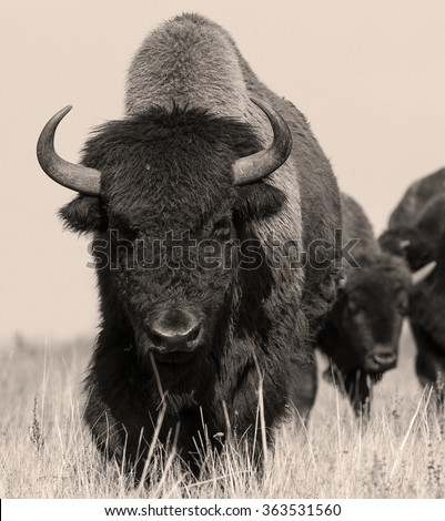 American bison or buffalo in sepia. The herd of american bison (buffalo). Sepia shot of one american bison.