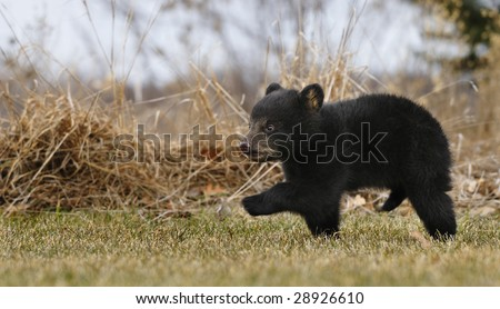 American Black Bear Cub (Ursus americanus) Runs Across Grass - weeds in background - captive animal - some motion blur