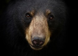 American Black bear face up close looking at the camera in the meadow in autumn in Canada