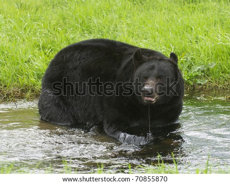 American Black Bear in water with grass background