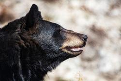 American black bear. Mammal and mammals. Land world and fauna. Wildlife and zoology. Nature and animal photography.