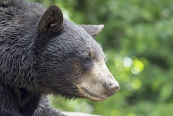 American Black Bear Pacific Northwest Wildlife Animal Portrait Closeup