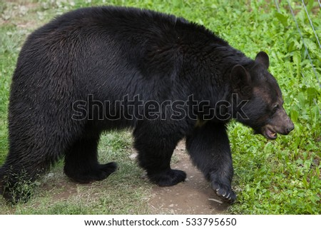 american black bear  ursus...