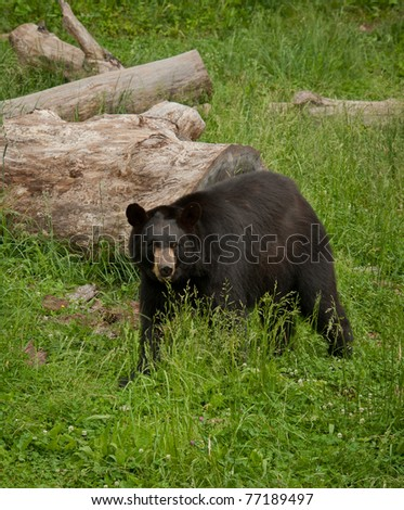 American Black Bear (Ursus-americanus) with green grass background.