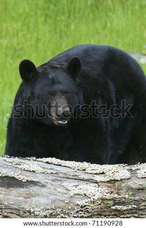 American Black Bear with grass background - stock photo