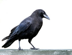 American black crow standing on a fence isolated on white background