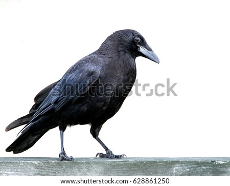 american black crow standing on ...