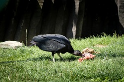 American black vulture bird of prey eats the carcass of a small rodent on the ground. Black Coragyps atratus eats lunch. Omnivore. Rodent hunter.