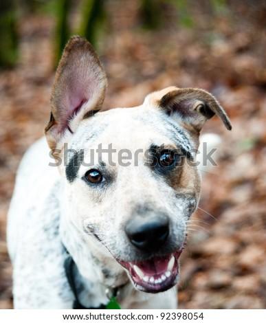 American Blue Heeler Puppy Enjoying Walk Outside