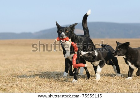 american border collie,american labrador,american boxer,american poodle,american labrador retriever,american golden retriever,american australian shepherd,northwest border collie,american border collie rescue,