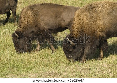 American buffalo bull and cow grazing in Custer State Park in the Black Hills of South Dakota. The largest land mammal in North America.
