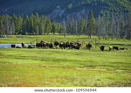American Buffalo in Yellowstone National Park. North American Wildlife Photo Collection.