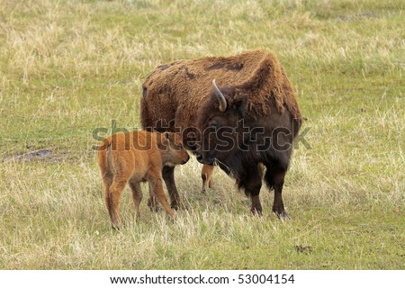 American Buffalo mother and her new calf on the plains of South Dakota