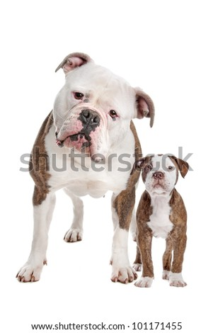American Bulldog Adult and puppy in front of a white background