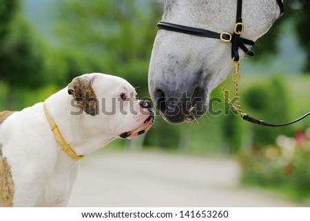 American bulldog and horse