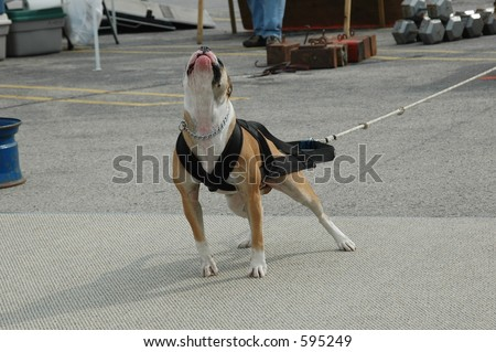 American Bulldog pulling a cart in a weight pull