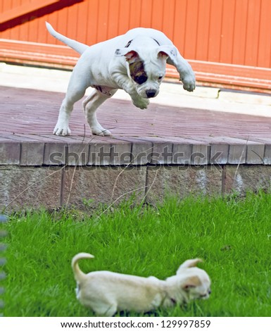 American bulldog puppy playing with chihuahua