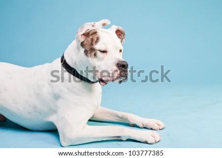 American bulldog white brown isolated on light blue background. Studio shot.
