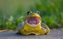 American bullfrog close up portrait