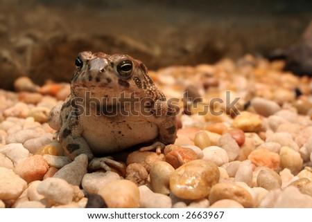 American Bullfrog in a terrarium sitting on rocks