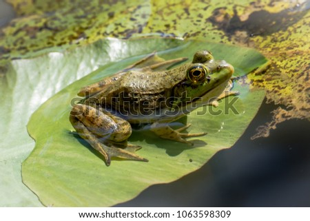 American Bullfrog on a lilly pad