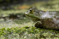 American Bullfrog, Reeds Lake, Grand Rapids, Michigan