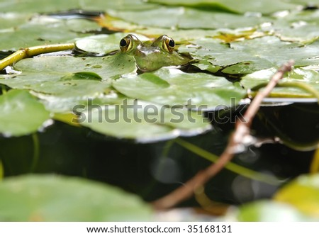 american bullfrog - scientific name, rana catesbeiana
