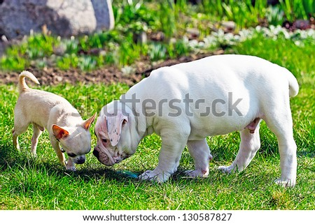 American bullgog and chihuahua playing in the garden