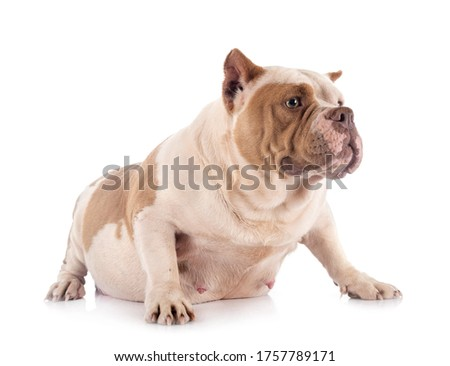 american bully in front of white background Photo stock ©