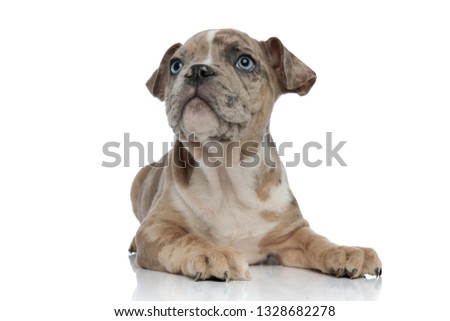 American bully puppy laying down and looking up curiously on white background #1328682278