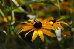 American Bumble Bee on Flower