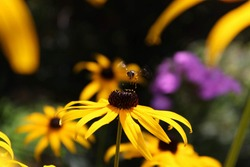 American Bumble Bee with Flower