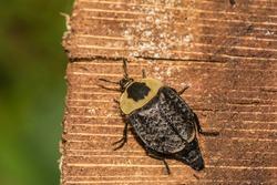 American Carrion Beetle (Necrophila americana)