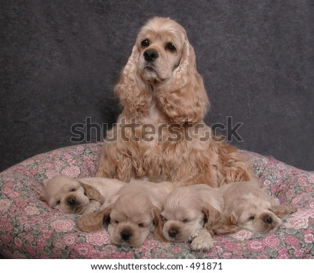 American Cocker Spaniel dam and her litter of puppies