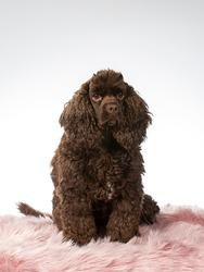 American cocker spaniel dog portrait, image taken in a studio with white background.