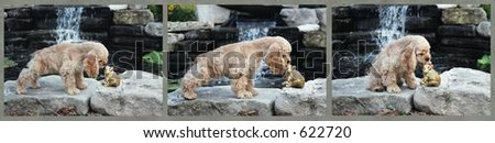 American Cocker spaniel going to kiss a toad in sequence