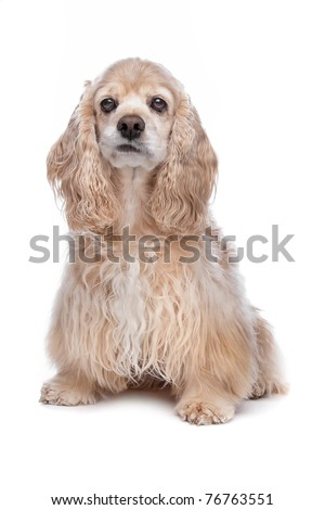 American Cocker Spaniel in front of a white background
