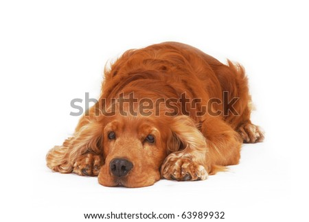 American cocker spaniel lay down bored