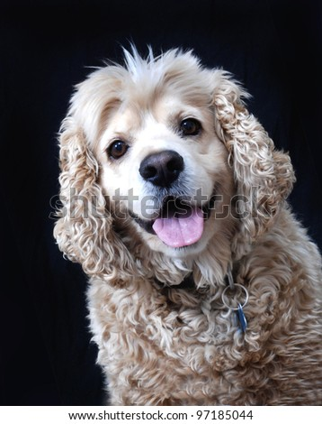 American Cocker Spaniel portrait. Isolated on black.