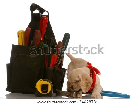 american cocker spaniel puppy chewing on tools sitting beside large tool pouch
