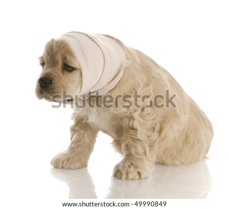 american cocker spaniel puppy with head in bandage with reflection on white background