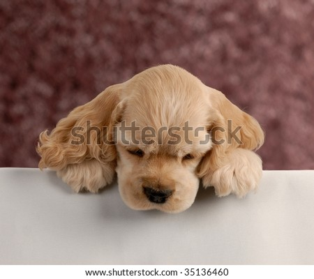 american cocker spaniel puppy with paws over white foreground