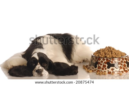 american cocker spaniel refusing to eat isolated on white background