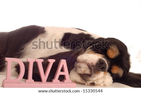 american cocker spaniel sleeping with diva sign - champion bloodlines