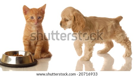 american cocker spaniel walking towards orange tabby kitten that is sitting in front of food dish